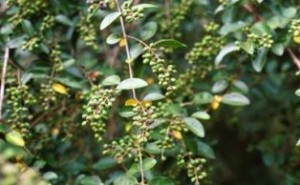 Chinese privet - Shrub that can spread easily into native plant communities and displace native vegetation