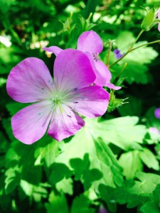 Wild geranium were everywhere!