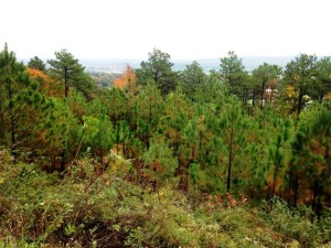 Oxford County, Alabama – This 119.93 acre property, located in Oxford County, AL, consists of rocky ridges above the town of Oxford. The tract surrounds a development and offers a nice view shed for the community. The property includes long leaf pines with relatively mature forests, a water source, and diversified plant species.