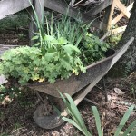 A wheel barrow of plants greets visitors.