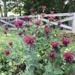Beautiful bee balm adorns the Farm's driveway.