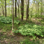 Mayapple patches dot the wooded landscape in the Spring.