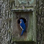 Bluebird perches on a birdbox in Gail's backyard. Photo courtesy of Mark Lewis.