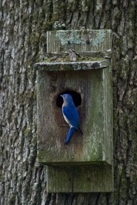 Bluebird perches on a birdbox in Gail's backyard. Photo courtesy of Mark Lewis.
