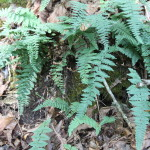 Image of an Alabama lip fern on a rock outcrop.