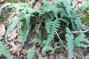 Image of an Alabama lip fern on a rock outcrop.