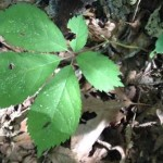 A site visit also captured the rare American ginseng plant.