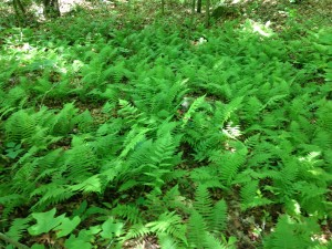 One of many lush NY fern beds on the property.