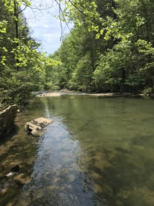 Another image of Piney Creek.  The Loudon/Watts Bar HUC_8 watershed, in which the property lies, is ranked as a critical watershed for freshwater species. White's Creek and Piney Creek, along with Rock Creek, a Piney Creek tributary, are rated as 'fully supporting' by TN Dept. of Environmental Conservation. The conservation area contains 13 aquatic threatened or endangered species including the Laurel Dace, Tangerine Darter, and Orangefoot Pimpleback. White's Creek and Piney Creek are also considered suitable habitat for the Eastern Hellbender.   The Hellbender is considered in need of management by the State of Tennessee.