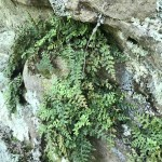 Image of Mountain Spleenwort on rock wall.