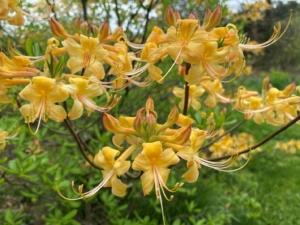 Native Yellow Azaleas