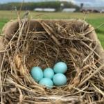 Blue Bird Eggs