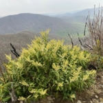 Mountain fetter bush