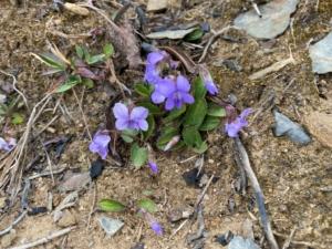 Arrowleaf Violet