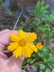 Coreopsis auriculata (Lobed coreopsis)
